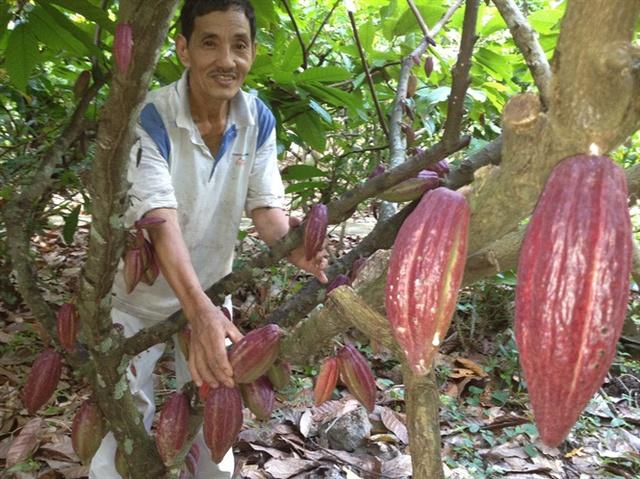 Ca cao Việt Nam được đánh giá cao về chất lượng