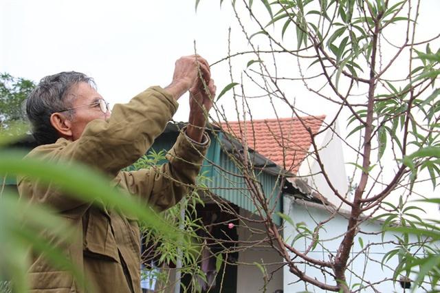 Ông Nguyễn Khắc Toàn cố gắng chăm sóc những gốc đào còn sống sót với hy vọng vớt vát được chút ít
