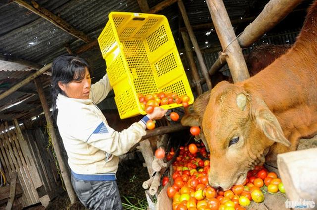 Do cà chua bị hư quá nhiều, không ai mua nên bà Nguyễn Thị Giáo (55 tuổi, xã Ka Đơn, huyện Đơn Dương) đành lượm về cho bò ăn - Ảnh: Lâm Thiên