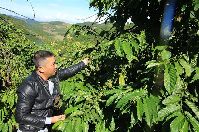 Thu hoạch cà phê ở Lâm Đồng. Ảnh: Hồng Thủy
