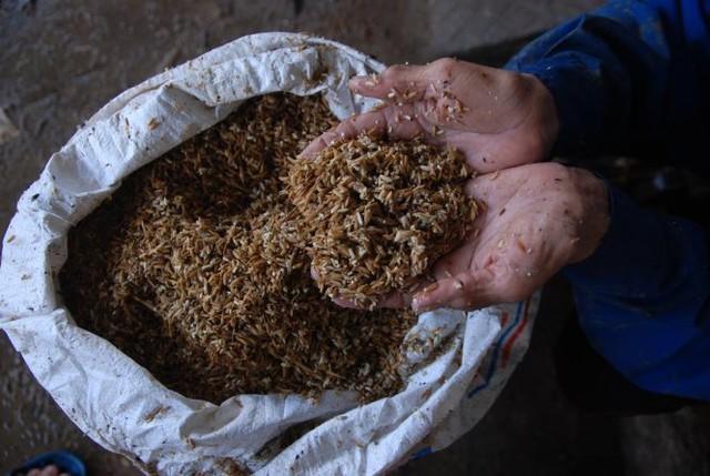 Lúa của người dân vùng nam sông Gianh bị nước lũ làm hỏng - Ảnh: QUỐC NAM