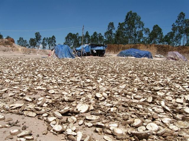 Giá sắn tươi thấp, nhiều hộ nông dân xắt lát phơi khô phục vụ chăn nuôi