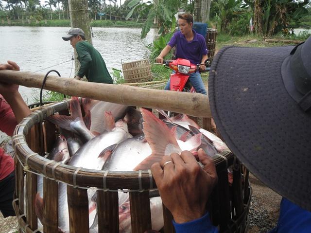 Cá tra đã quá lứa (2 – 2,5 kg/con)