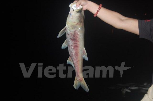 Một cá thể cá mè rất lớn bị dạt vào bờ (Ảnh: Sơn Bách/Vietnam+)
