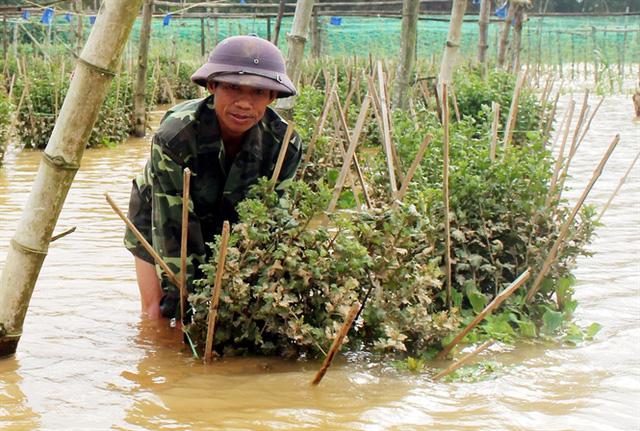 Hơn 300.000 chậu hoa huyện Tư Nghĩa hư hỏng