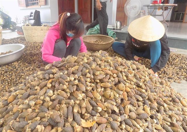 Cau khô được lựa chọn, loại những quả phình to (quả già) trước khi đóng bao xuất sang Trung Quốc