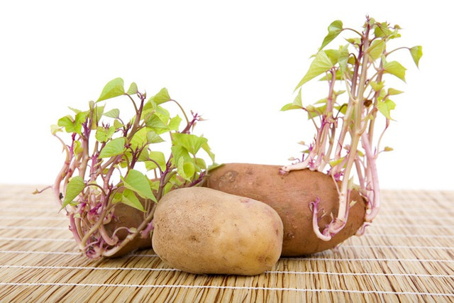Các loại khoai thường xuyên đứng đầu trong danh sách những loại củ quả không nên ăn khi đã mọc mầm. (Ảnh: nguồn internet).