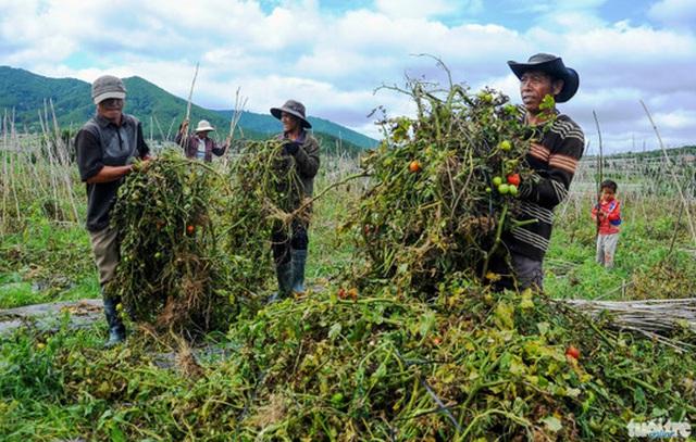 Nông dân xã Ka Đơn phải dỡ bỏ vườn cà chua bị bệnh - Ảnh: Lâm Thiên