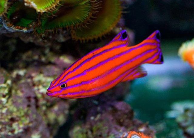 Candy Basslet là  loại cá bé nhỏ với màu sắc sặc sỡ thường sống ở vùng biển Caribbean (1.000 USD/con)