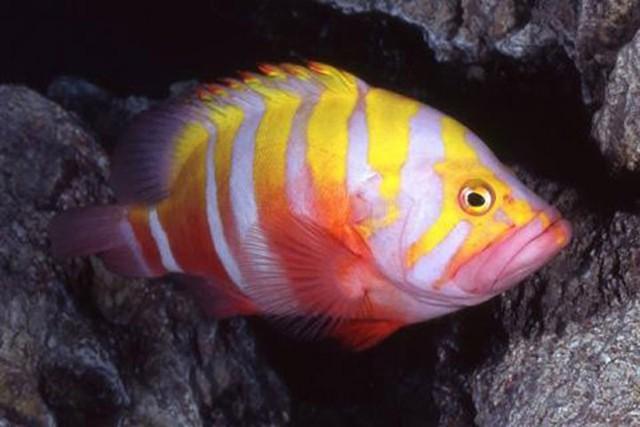 Cá mú Neptune là loài cá tuyệt đẹp. Trong quá trình trưởng thành, màu sắc trên cơ thể chúng có sự  thay đổi từ màu vàng cam thành màu hồng rực rỡ. (6.000 USD/con)