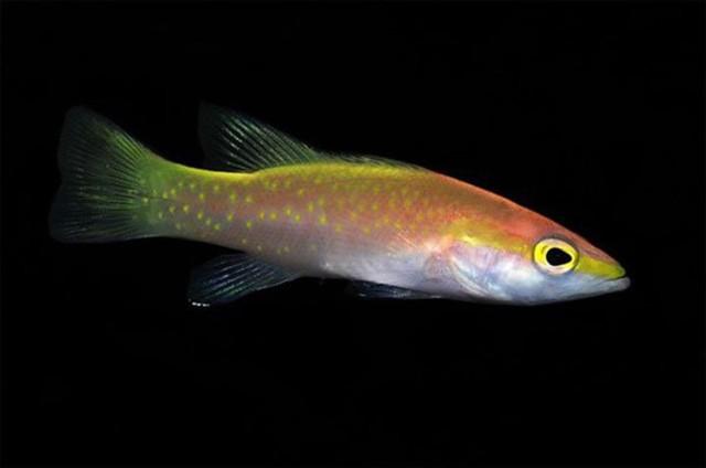 Cá Golden Basslet có màu vàng óng ả vô cùng đặc biệt. Chúng có thể thích nghi tốt với điêu kiện nuôi nhốt (8.000 USD/con)