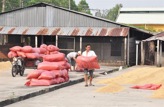 Nông dân thu hoạch lúa ĐX ở Cần Thơ