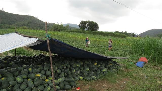 Nông dân ở khu phố Long An, thị trấn La Hai (huyện Đồng Xuân), thu hoạch dưa hấu