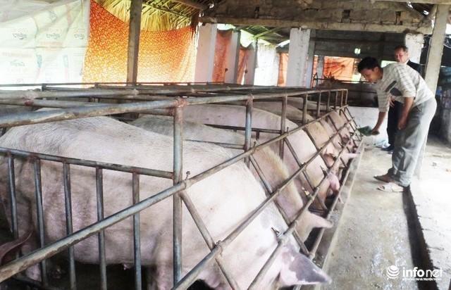 Giá heo hơi tăng nhanh và bất ngờ giảm khiến không ít hộ chăn nuôi lao đao.