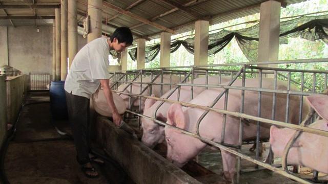 Chăn nuôi heo đã có dấu hiệu bình phục từ tháng 7 vừa qua. Ảnh: CTV