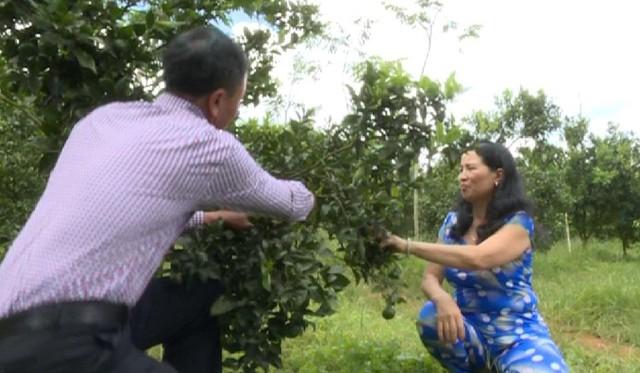 Thu tiền tỷ nhờ trồng quýt đường canh