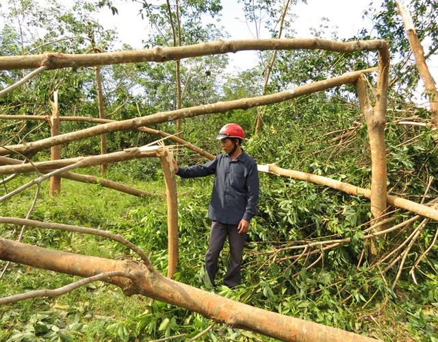 Rừng cao su ở xã Tây Trạch bị gãy đổ
