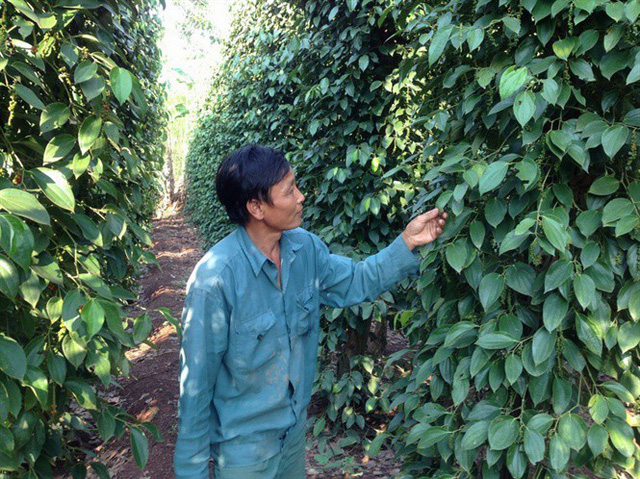 Một vười tiêu ở Đông Nam Bộ. Ảnh: Khương Hồng Thủy