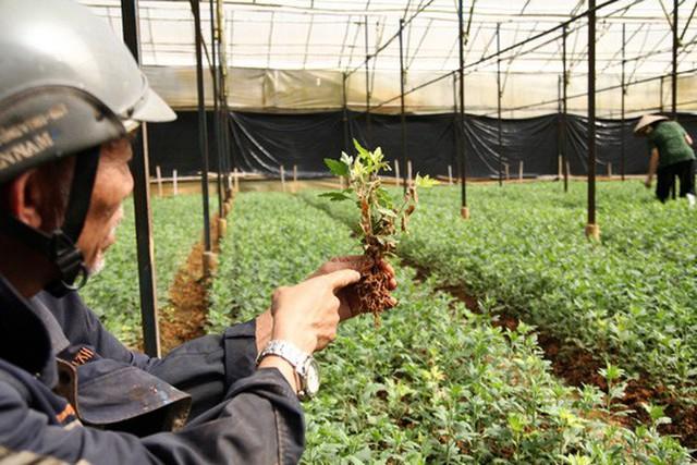 Dịch bệnh héo lá sọc thân gây thiệt hại nặng vụ hoa Tết ở Lâm Đồng
