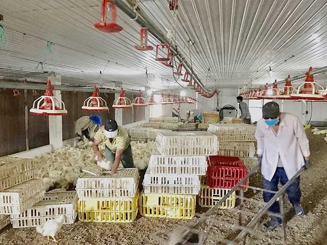Các trang trại chăn nuôi cần cách xa nhau để tránh nguy cơ lây nhiễm dịch bệnh. Ảnh: Q.HUY