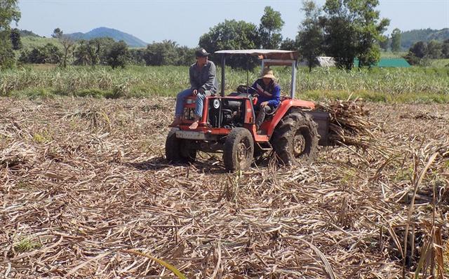 Các ruộng mía thu hoạch đầu vụ đều thuê máy cày tăng bo mía từ ruộng ra đường