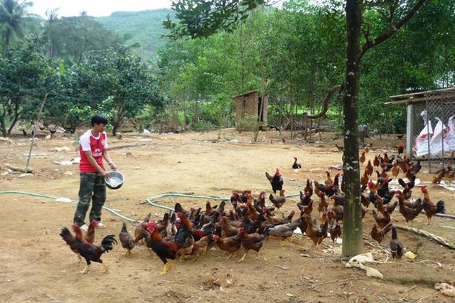Chăn nuôi gà tại một hộ gia đình ở xã Ân Tường Tây (huyện Hoài Ân).