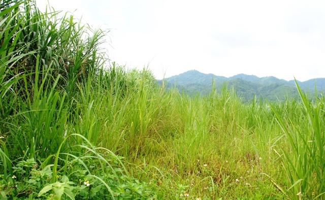 Những lô đất thành các rừng cỏ voi xanh tốt