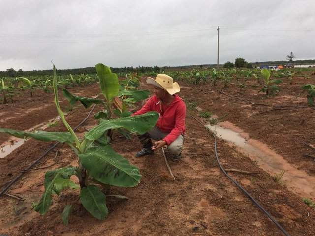 Kỹ sư chăm sóc những cây non ca cao và chuối sau 2 tháng trồng