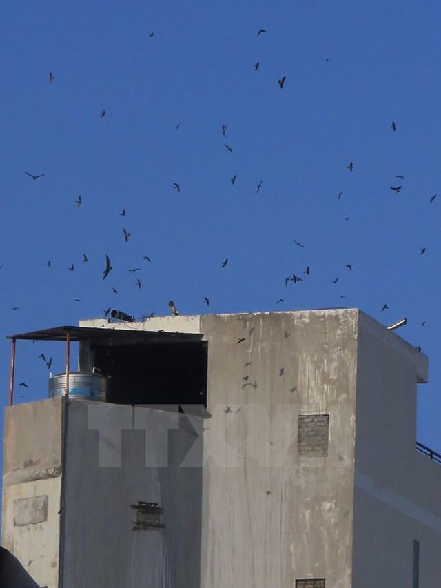 Chim yến bay rợp trời ở 1 nhà yến trên các con phố Thống Nhất, đô thị Nha Trang, Khánh Hòa. (Ảnh: Tiên Minh/TTXVN)