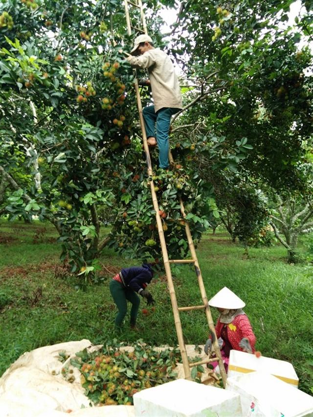 Nhà vườn thu hoạch chôm chôm