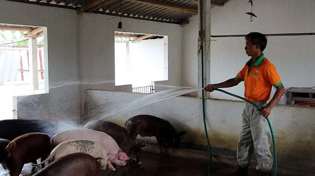 Gà, lợn nuôi bằng giun quế