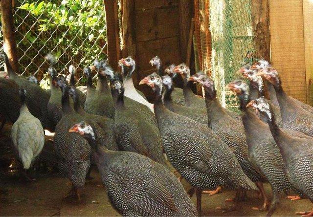 Thịt gà sao ăn rất thơm ngon, khá giống có thịt chim trĩ
