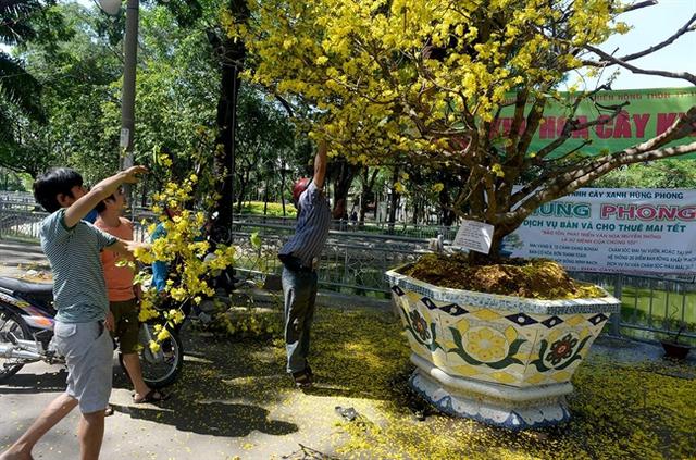 Một cây mai rao giá 900 triệu đồng được trưng ở chợ hoa công viên 23/9 năm nay. Chiều 30 Tết, khi chợ tan mà chưa bán được, nhiều người đã ào vào cưa cành về trưng Tết. Ảnh: Quang Lê.