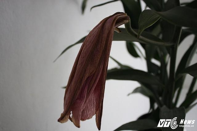 Nụ hoa chưa kịp nở đã héo úa.