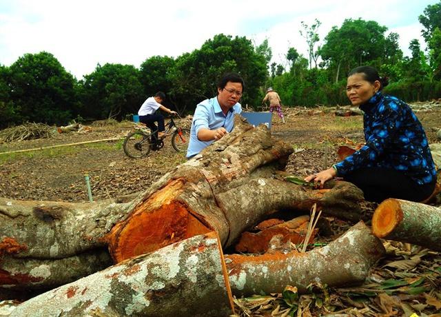 Nhiều tổng diện tích chôm chôm nhãn và java đang bị nhà vườn đốn bỏ để chuyển sang trồng chôm chôm Thái