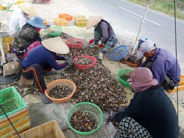 Điểm thu mua mỗi ngày nhập khoảng trên dưới 2 tấn các loại sò ốc làm thức ăn cho tôm hùm