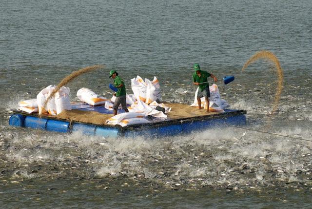 Dùng bè cho cá tra ăn thức ăn