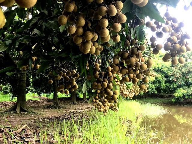 Giống nhãn Miền cho quả to, năng suất cao, được trồng nhiều ở huyện Khoái Châu.