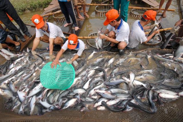 Thu hoạch cá tra tới lứa