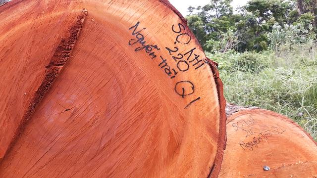 Đường đi của các loại cây xanh bị đốn hạ ở TP HCM - Ảnh 6.