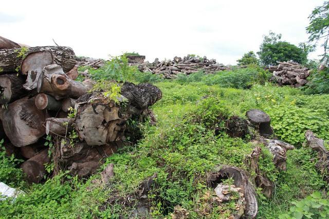 Đường đi của các loại cây xanh bị đốn hạ ở TP HCM - Ảnh 9.