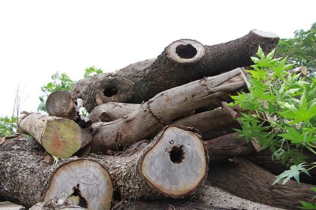 Đường đi của các loại cây xanh bị đốn hạ ở TP HCM - Ảnh 11.