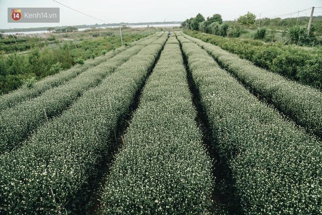 Cúc hoạ mi vào vụ mùa, nông dân Hà Nội hớn hở chào mừng khách đến mua hoa và chụp ảnh - Ảnh 1.