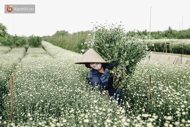 Cúc hoạ mi vào vụ mùa, nông dân Hà Nội hớn hở chào mừng khách đến mua hoa và chụp ảnh - Ảnh 9.