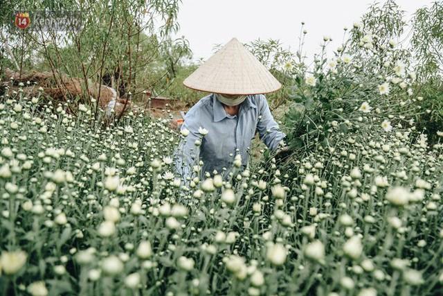 Cúc hoạ mi vào vụ mùa, nông dân Hà Nội hớn hở chào mừng khách đến mua hoa và chụp ảnh - Ảnh 14.