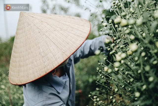Cúc hoạ mi vào vụ mùa, nông dân Hà Nội hớn hở chào mừng khách đến mua hoa và chụp ảnh - Ảnh 7.