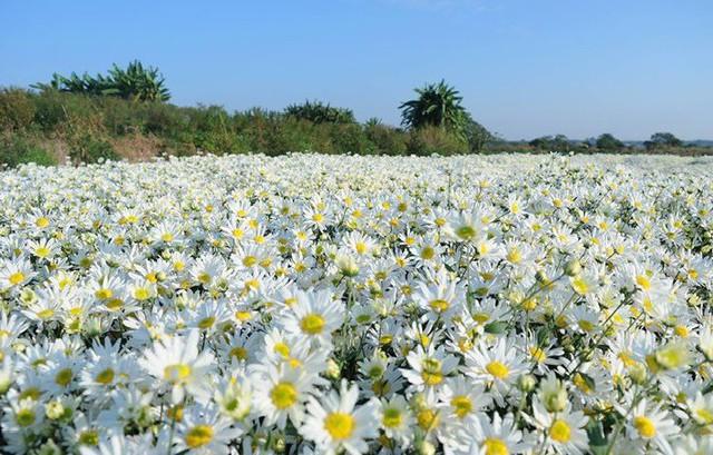 Cúc họa mi hút khách, người trồng hoa kiếm bộn tiền - Ảnh 1.