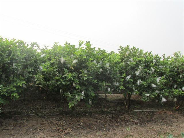 Ngỡ ngàng một xã thu 45 tỷ đồng từ trồng ổi - Ảnh 1.