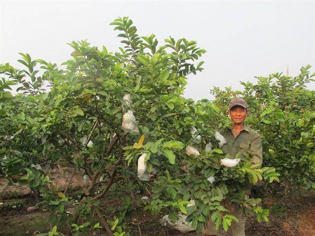 Ngỡ ngàng một xã thu 45 tỷ đồng từ trồng ổi - Ảnh 2.