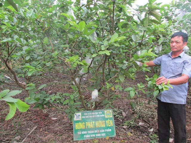 Ngỡ ngàng một xã thu 45 tỷ đồng từ trồng ổi - Ảnh 3.